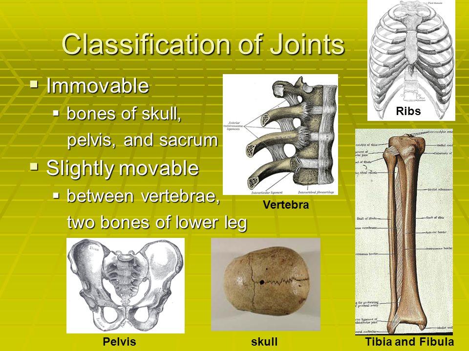 Classification of Joints  Immovable  bones of skull, pelvis, and sacrum pelvis, and sacrum  Slightly movable  between vertebrae, two bones of lowe