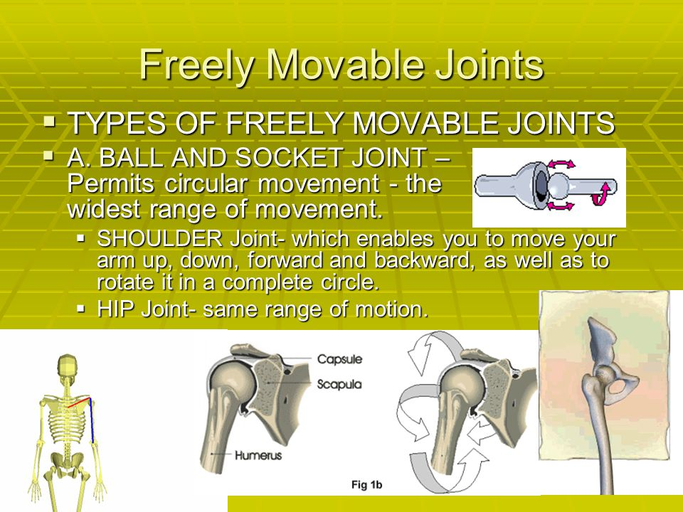 Freely Movable Joints  TYPES OF FREELY MOVABLE JOINTS  A. BALL AND SOCKET JOINT – Permits circular movement - the widest range of movement.  SHOULD