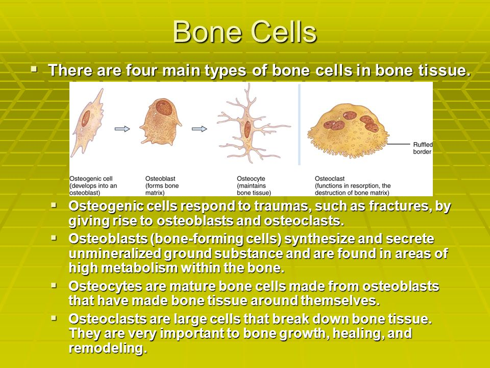 Bone Cells  There are four main types of bone cells in bone tissue.  Osteogenic cells respond to traumas, such as fractures, by giving rise to osteo