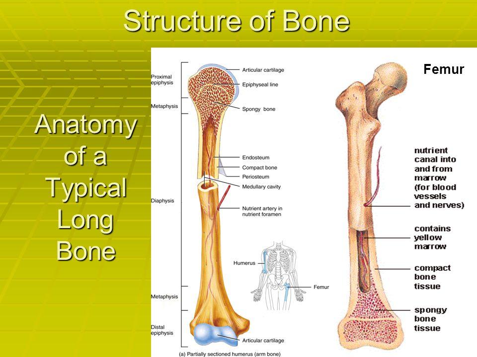 Anatomy of a Typical Long Bone Femur Structure of Bone