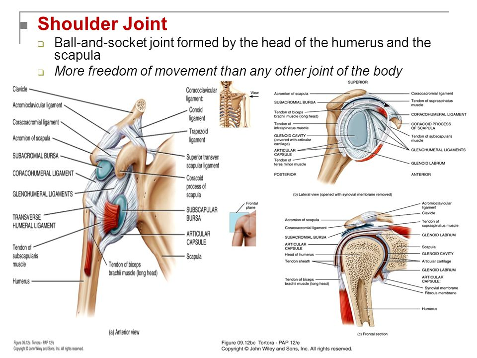 Shoulder Joint  Ball-and-socket joint formed by the head of the humerus and the scapula  More freedom of movement than any other joint of the body