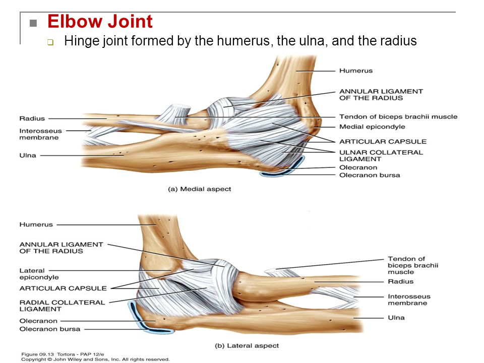 Copyright 2009, John Wiley & Sons, Inc. Elbow Joint  Hinge joint formed by the humerus, the ulna, and the radius