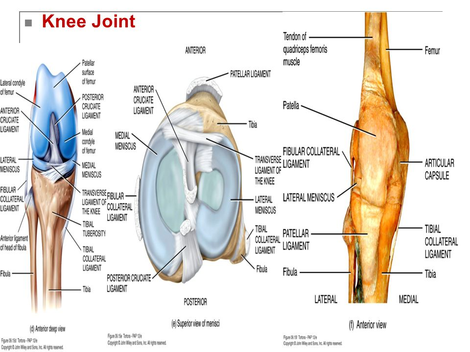 Copyright 2009, John Wiley & Sons, Inc. Knee Joint