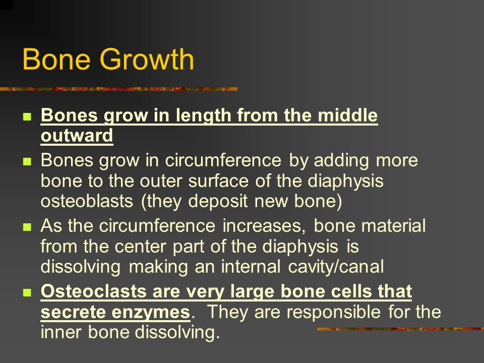 Bone Growth Bones grow in length from the middle outward Bones grow in circumference by adding more bone to the outer surface of the diaphysis osteobl
