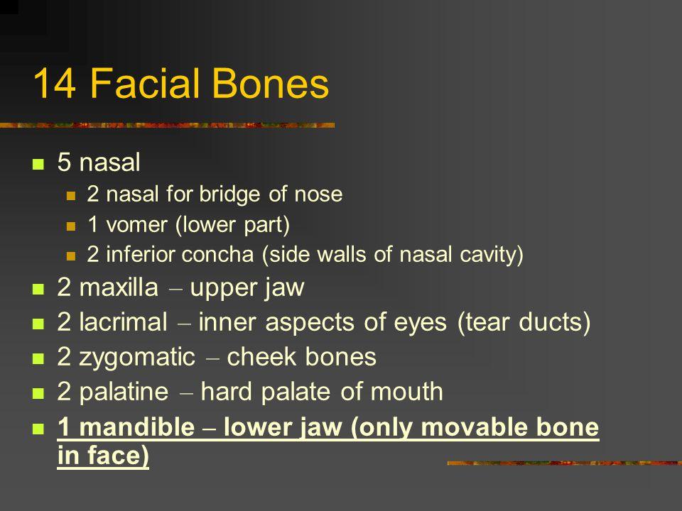 14 Facial Bones 5 nasal 2 nasal for bridge of nose 1 vomer (lower part) 2 inferior concha (side walls of nasal cavity) 2 maxilla – upper jaw 2 lacrima