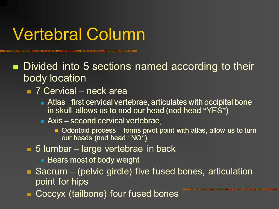 Vertebral Column Divided into 5 sections named according to their body location 7 Cervical – neck area Atlas – first cervical vertebrae, articulates w