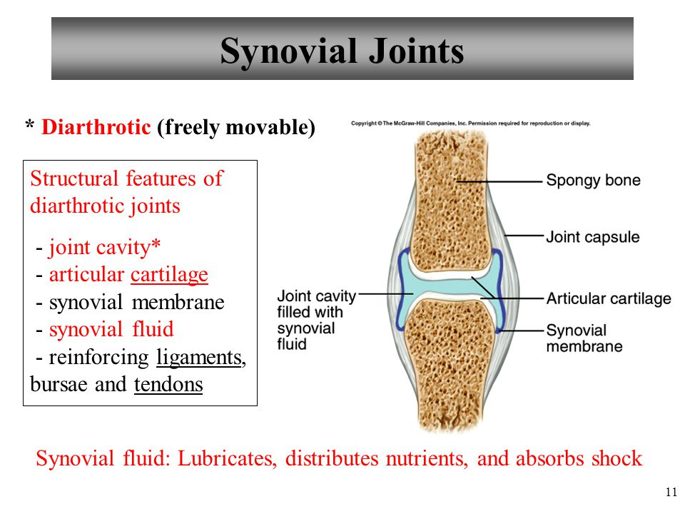 11 Synovial Joints * Diarthrotic (freely movable) Structural features of diarthrotic joints - joint cavity* - articular cartilage - synovial membrane
