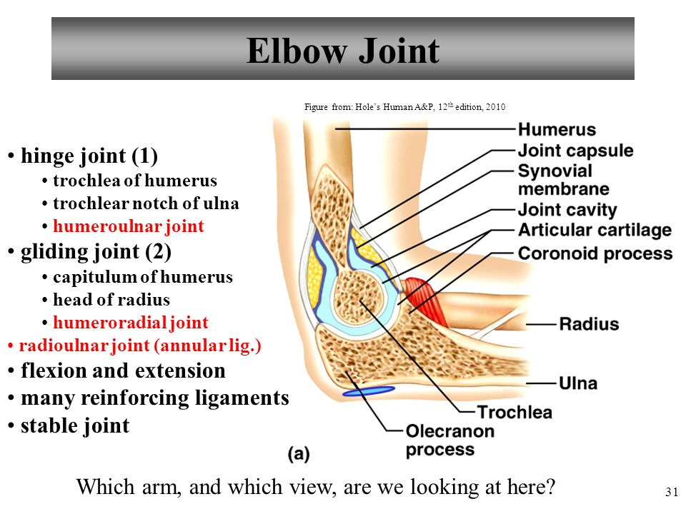31 Elbow Joint hinge joint (1) trochlea of humerus trochlear notch of ulna humeroulnar joint gliding joint (2) capitulum of humerus head of radius hum