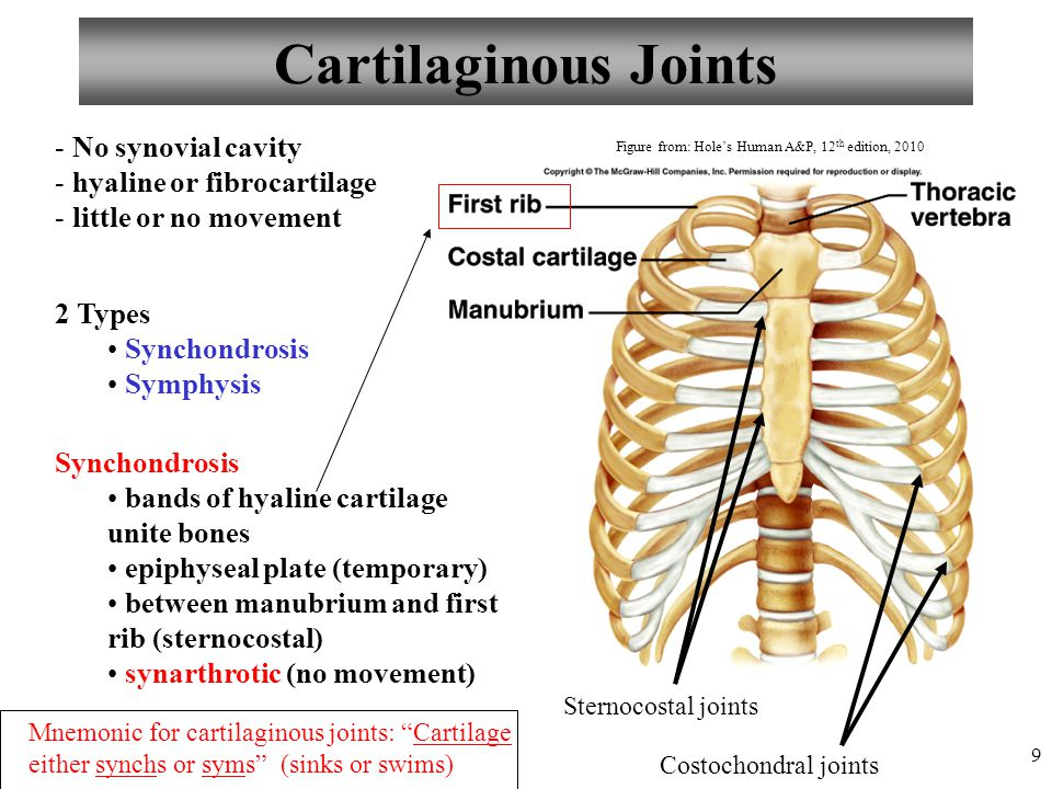9 Cartilaginous Joints 2 Types Synchondrosis Symphysis Synchondrosis bands of hyaline cartilage unite bones epiphyseal plate (temporary) between manub