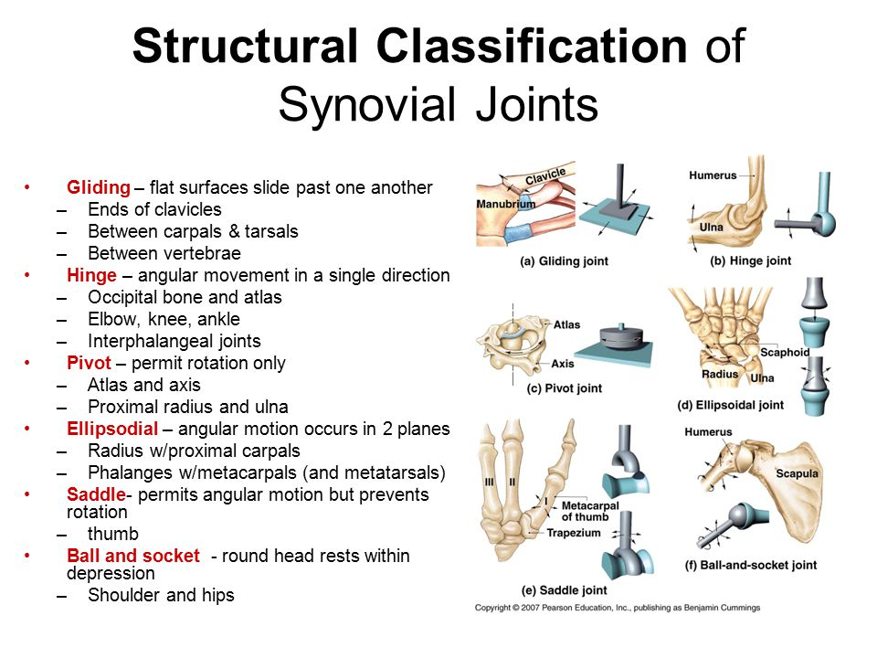 Structural Classification of Synovial Joints Gliding – flat surfaces slide past one another –Ends of clavicles –Between carpals & tarsals –Between vertebrae Hinge – angular movement in a single direction –Occipital bone and atlas –Elbow, knee, ankle –Interphalangeal joints Pivot – permit rotation only –Atlas and axis –Proximal radius and ulna Ellipsodial – angular motion occurs in 2 planes –Radius w/proximal carpals –Phalanges w/metacarpals (and metatarsals) Saddle- permits angular motion but prevents rotation –thumb Ball and socket - round head rests within depression –Shoulder and hips