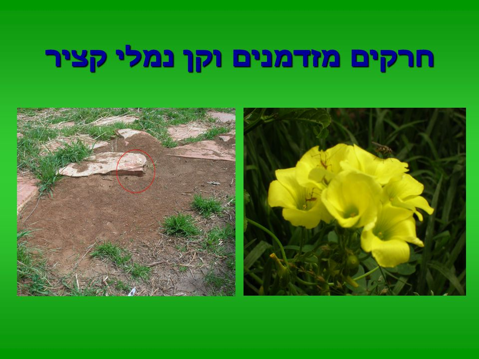 צופית מזדמנת לפרחי הבר בגינה