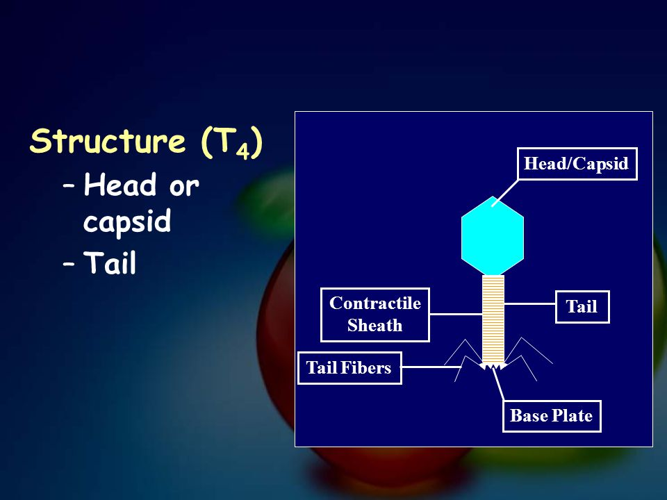 Structure (T 4 ) –Head or capsid –Tail Tail Tail Fibers Base Plate Head/Capsid Contractile Sheath