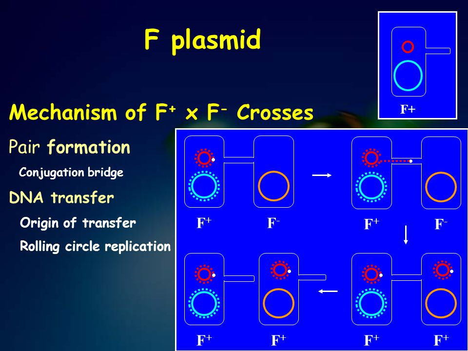 F plasmid F+ Mechanism of F + x F - Crosses Pair formation Conjugation bridge DNA transfer Origin of transfer Rolling circle replication F+F+ F-F- F+F