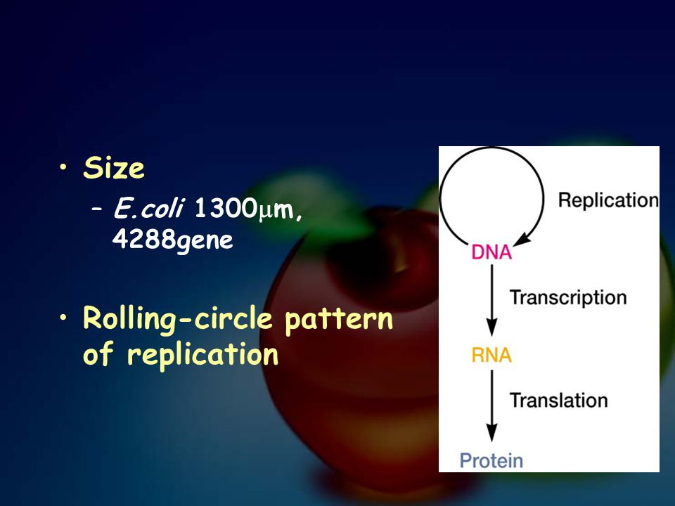 Size –E.coli 1300  m, 4288gene Rolling-circle pattern of replication