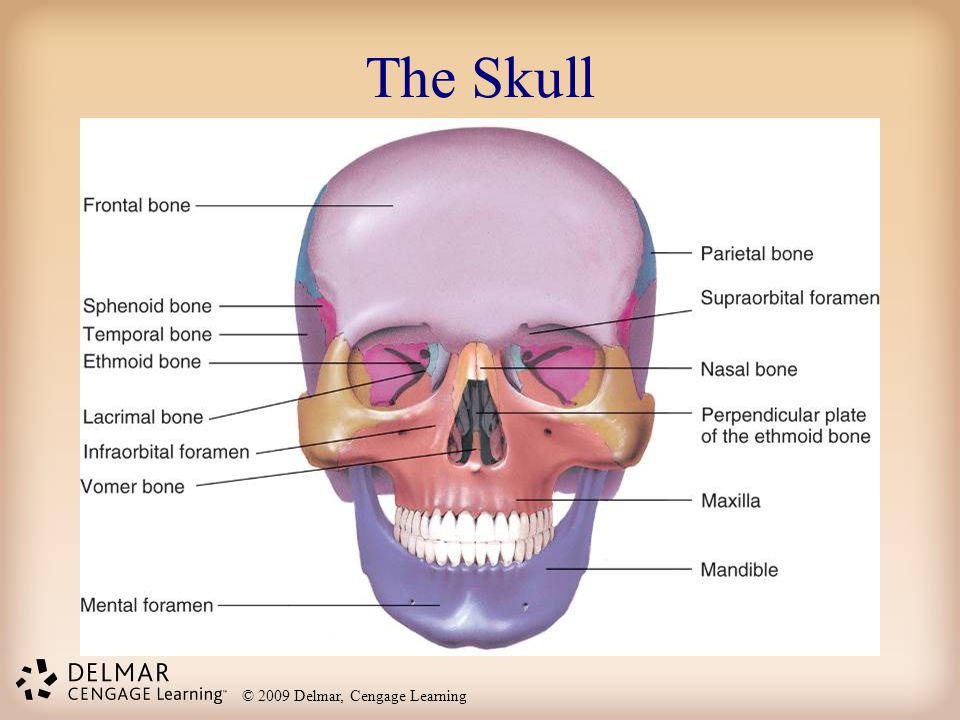 © 2009 Delmar, Cengage Learning The Skull