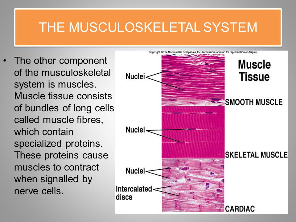 THE MUSCULOSKELETAL SYSTEM The other component of the musculoskeletal system is muscles.