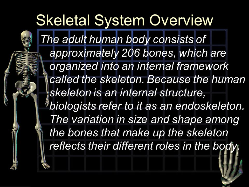Skeletal System Overview The adult human body consists of approximately 206 bones, which are organized into an internal framework called the skeleton.