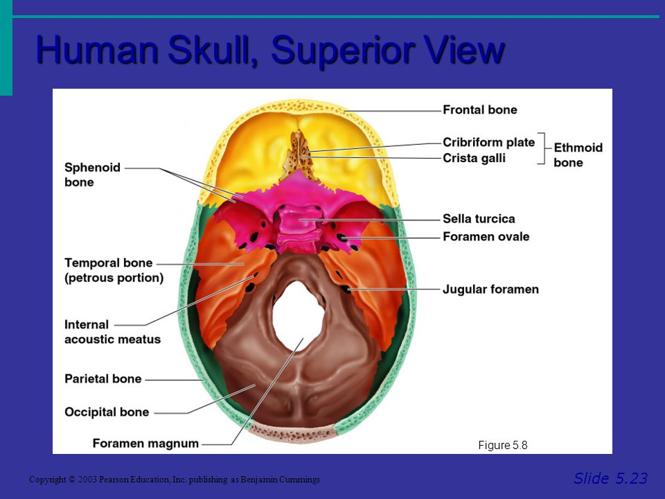 Human Skull, Superior View Slide 5.23 Copyright © 2003 Pearson Education, Inc.
