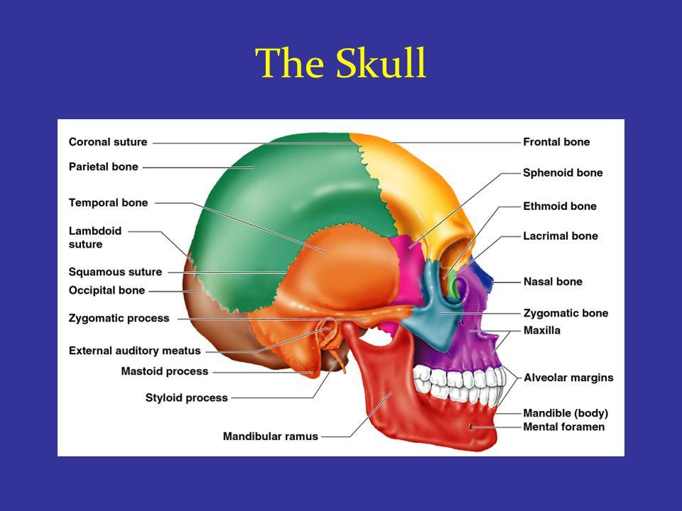 Skull – Inferior View