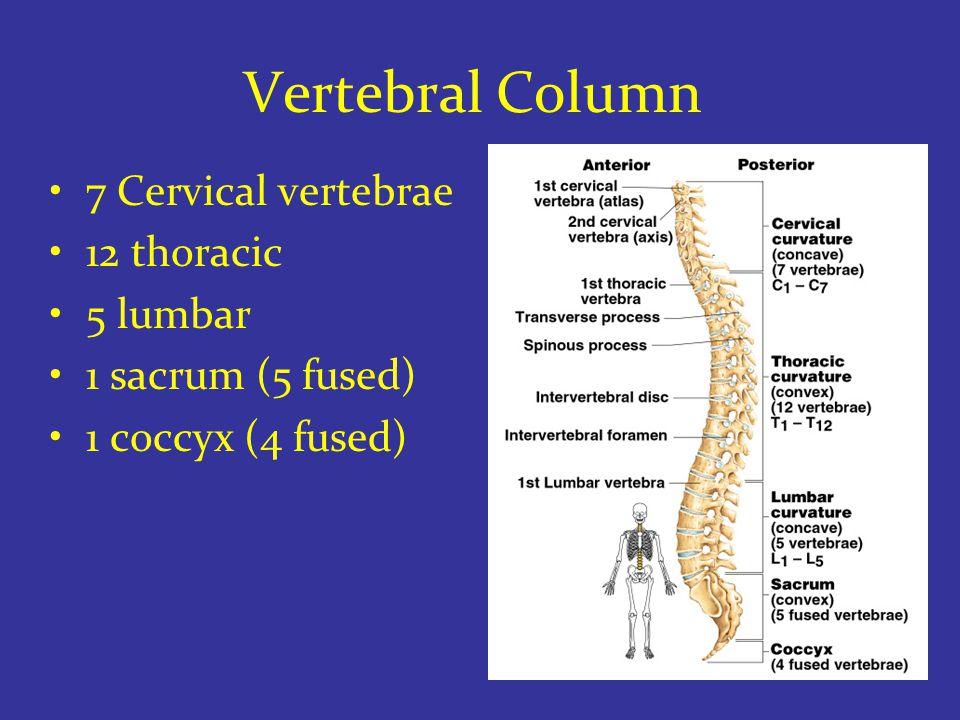 Vertebral Column 7 Cervical vertebrae 12 thoracic 5 lumbar 1 sacrum (5 fused) 1 coccyx (4 fused)