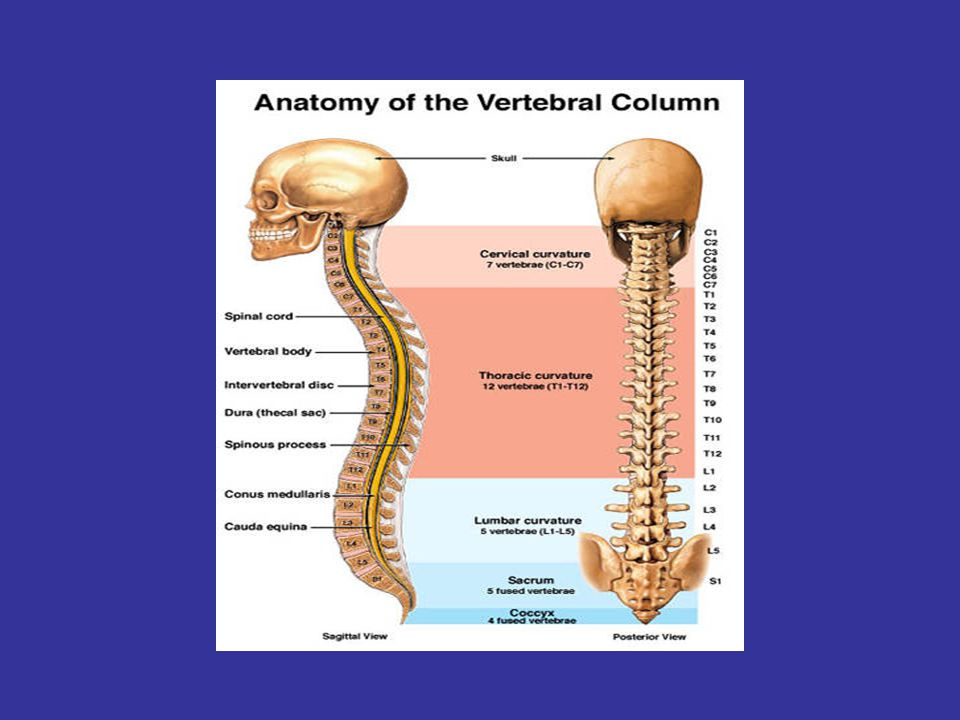 Structure of a Typical Vertebrae