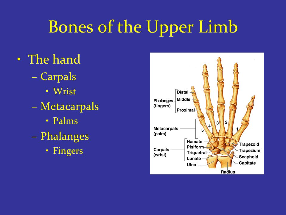 Bones of the Upper Limb The hand –Carpals Wrist –Metacarpals Palms –Phalanges Fingers