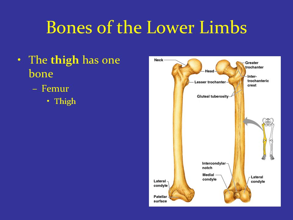 Bones of the Lower Limbs The thigh has one bone –Femur Thigh