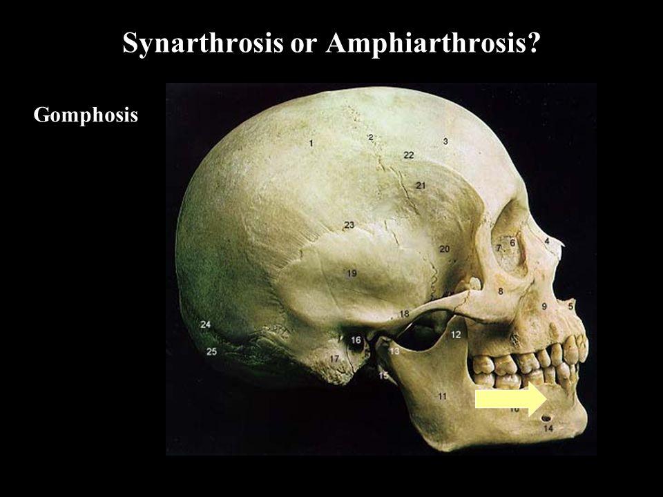 Synarthrosis or Amphiarthrosis Gomphosis