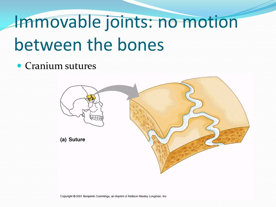 Immovable joints: no motion between the bones Cranium sutures