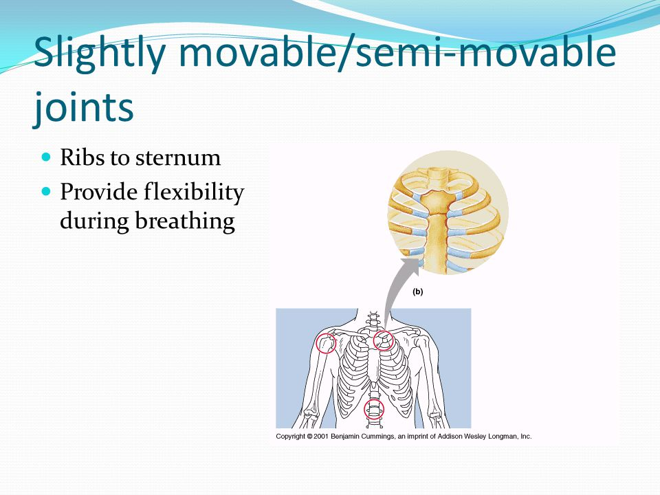 Slightly movable/semi-movable joints Ribs to sternum Provide flexibility during breathing