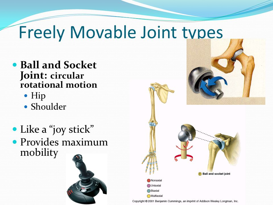 Freely Movable Joint types Ball and Socket Joint: circular rotational motion Hip Shoulder Like a joy stick Provides maximum mobility