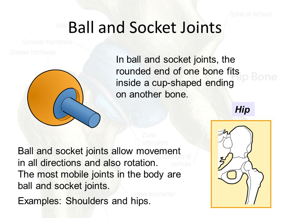 Ball and Socket Joints In ball and socket joints, the rounded end of one bone fits inside a cup-shaped ending on another bone.