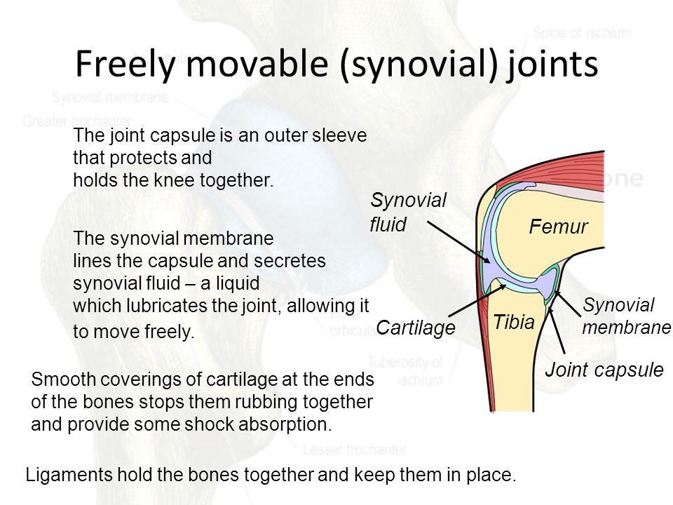 Freely movable (synovial) joints The joint capsule is an outer sleeve that protects and holds the knee together.