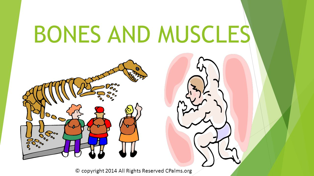 BONES AND MUSCLES © copyright 2014 All Rights Reserved CPalms.org