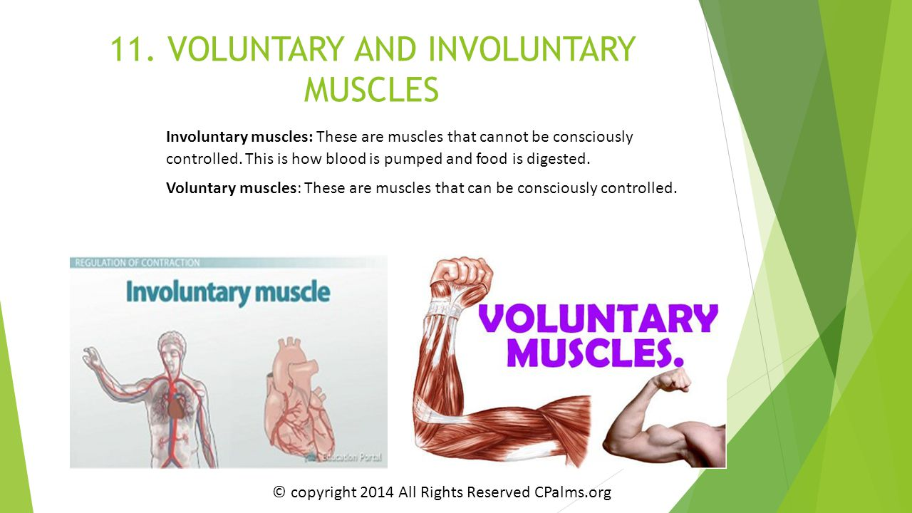 11. VOLUNTARY AND INVOLUNTARY MUSCLES Involuntary muscles: These are muscles that cannot be consciously controlled. This is how blood is pumped and fo