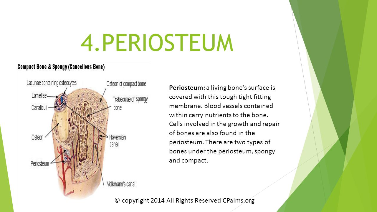 4.PERIOSTEUM Periosteum: a living bone's surface is covered with this tough tight fitting membrane. Blood vessels contained within carry nutrients to