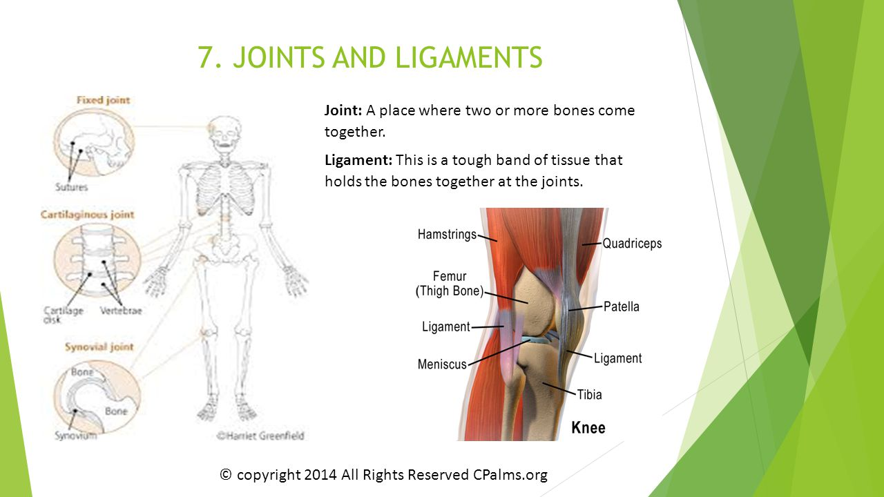 7. JOINTS AND LIGAMENTS Joint: A place where two or more bones come together. Ligament: This is a tough band of tissue that holds the bones together a
