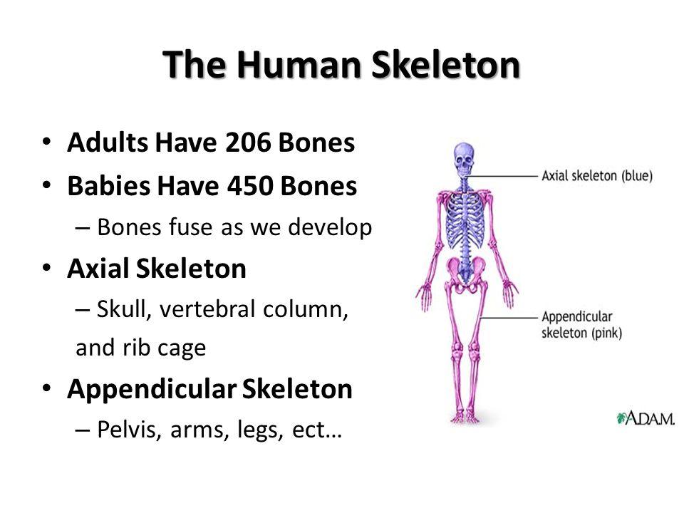 Major Bones of Body KNOW BONES ON DIAGRAM – Name, location, spelling Sacrum – At end of vertebral column – Coccyx at end = tail bone Pelvis = – Ileum – Ishium – Pubis (pubic bones)