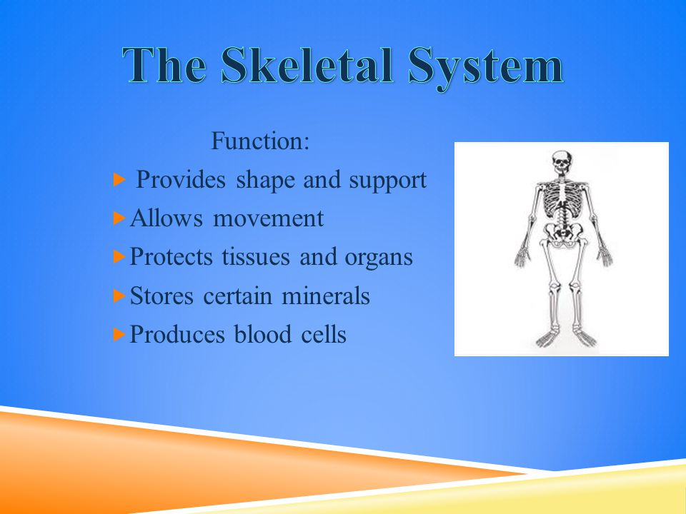  Bones- A solid network of living cells and protein fibers that are surrounded by deposits of calcium.