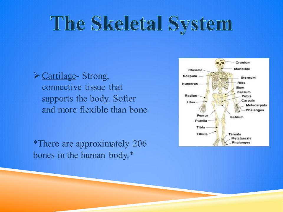  Cartilage- Strong, connective tissue that supports the body. Softer and more flexible than bone *There are approximately 206 bones in the human body