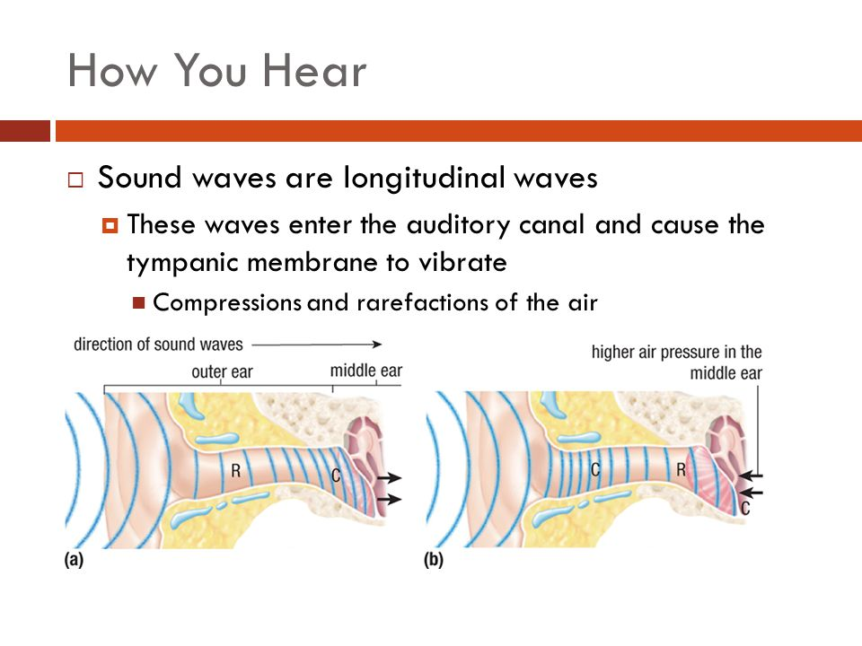 How You Hear  Sound waves are longitudinal waves  These waves enter the auditory canal and cause the tympanic membrane to vibrate Compressions and r