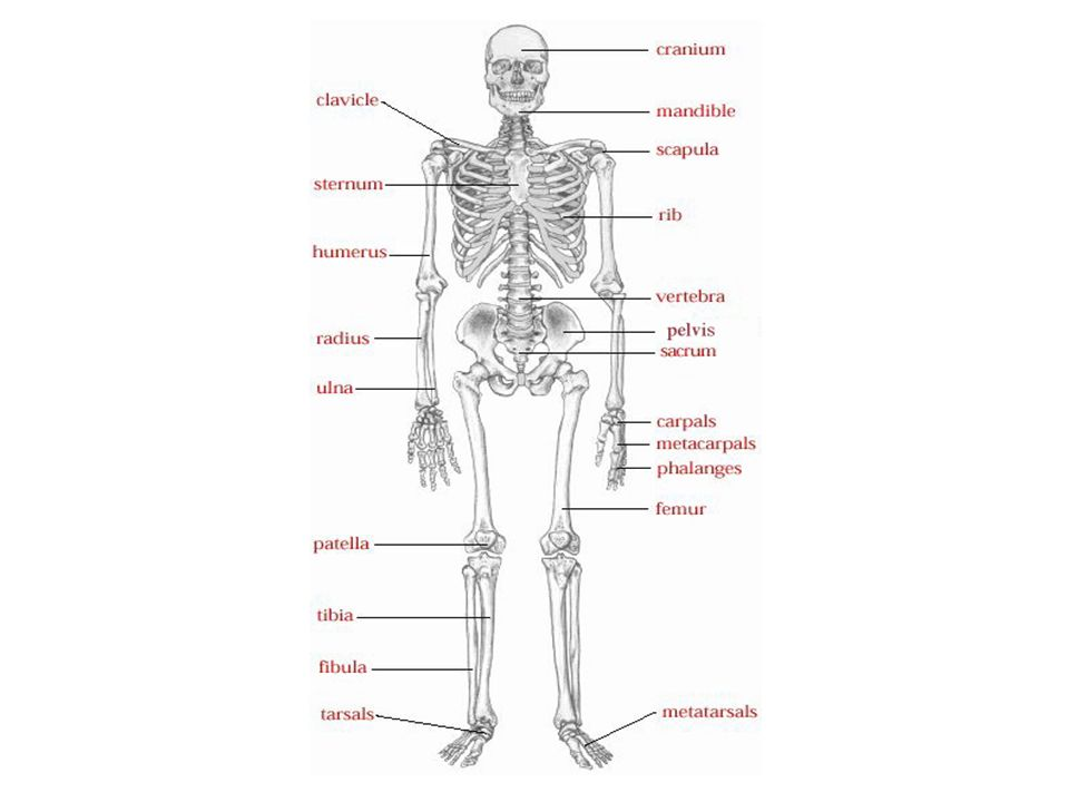 Activity 4 Create a song with actions with your group to point out the locations of the following bones: – Skull – Sternum, clavicle, scapula, ribs – Humerus, ulna, radius, carpals, metacarpals, phalanges – Vertebral column, sacrum, coccyx, pelvis – Femur, tibia, fibula, patella, tarsals, metatarsals, phalanges Time: 15 minutes