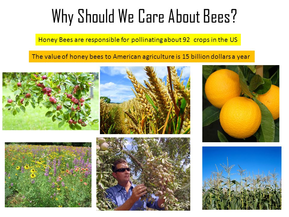 Why Should We Care About Bees? What Dieses Effect Honey Bees? Wh at is the Diff ere nce Bet wee n Nat ural and Con troll ed Hive s? Bees in general ar