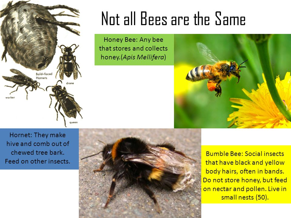 Not all Bees are the Same Bumble Bee: Social insects that have black and yellow body hairs, often in bands. Do not store honey, but feed on nectar and
