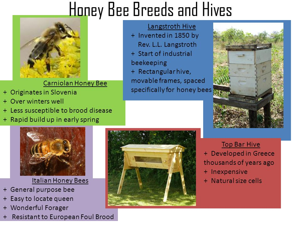 Honey Bee Breeds and Hives Carniolan Honey Bee + Originates in Slovenia + Over winters well + Less susceptible to brood disease + Rapid build up in ea