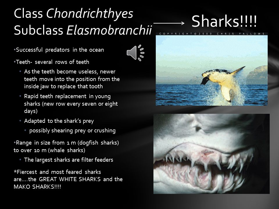 820 different species Sharks evolved from early jawed fishes ~375 million years ago Class Chondrichthyes Sublcass Elasmobranchii Sharks, skates & rays!!.