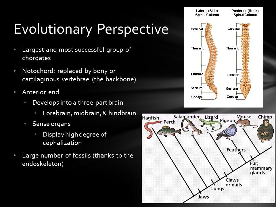 Kingdom: Animalia Phylum: Chordata Subphylum: Craniata Infraphylum: Vertebrata Classification