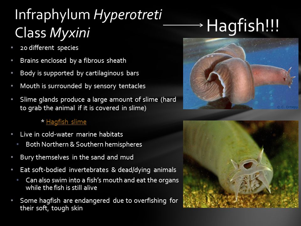 Began evolving 500 million years ago Display a variety of colors, shapes, & sizes Occupy all aquatic environments Divided into two infraphyla: Hyperotreti (hagfish) & Vertebrata (all other fish) Until recently, hagfish & lampreys were classified together Lampreys actually are closely related to cartilaginous fish Zoologists are still unaware if fish were the first craniates (animals with skulls) (more than likely hagfish were the first to evolve) Evolution of Fish