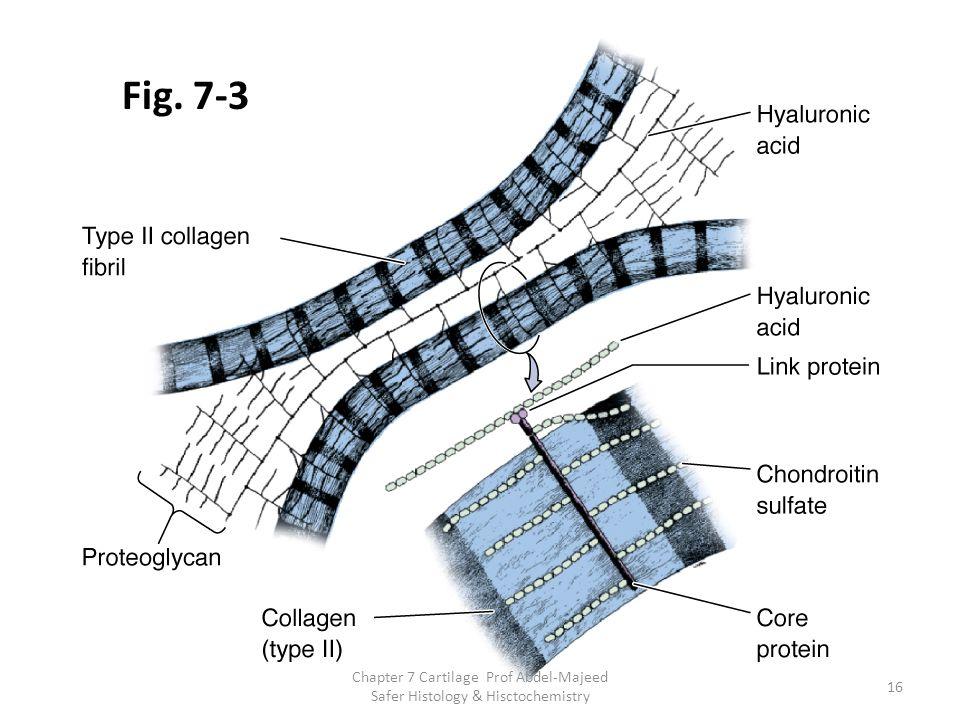 Fig. 7-3 16 Chapter 7 Cartilage Prof Abdel-Majeed Safer Histology & Hisctochemistry