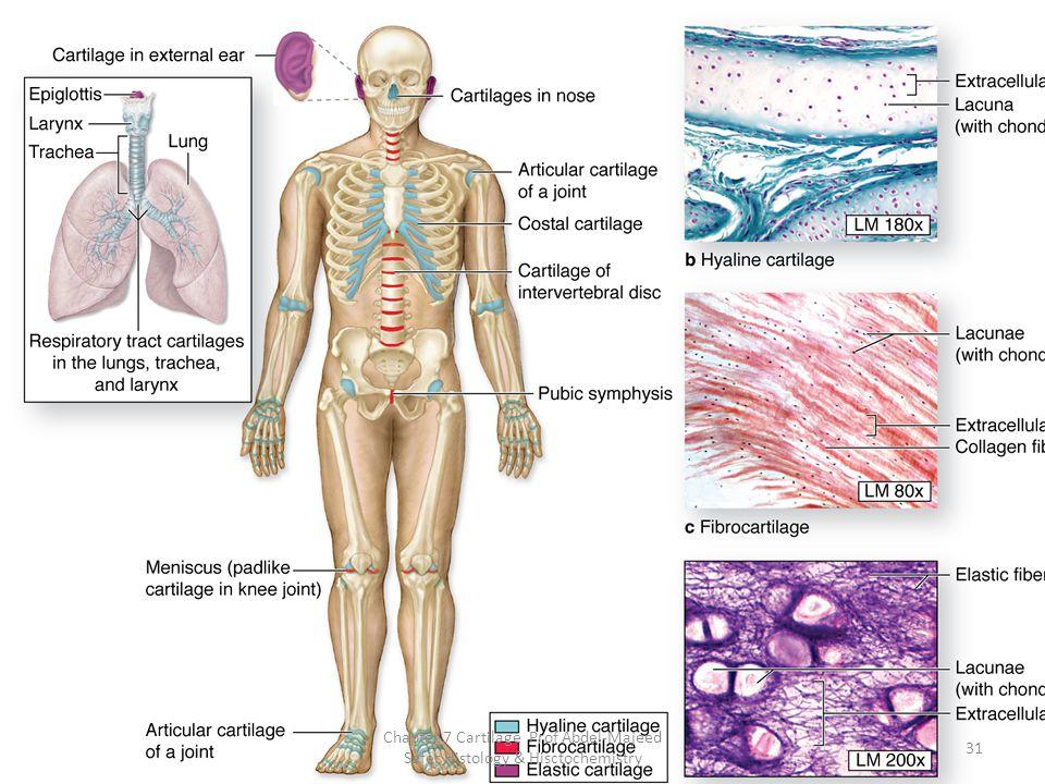 31 Chapter 7 Cartilage Prof Abdel-Majeed Safer Histology & Hisctochemistry